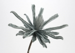 Цветок серо-голубой, высота 83 см